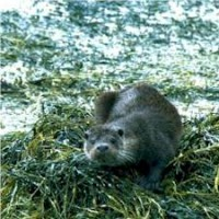 otter_in_the_linne_mhuirich2