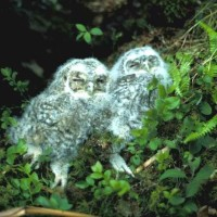 owl_chicks